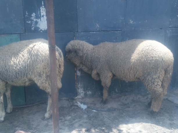 satilik-merinos-kuzu-big-1