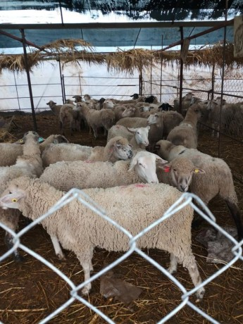 ilde-france-suffolk-login-macar-merinos-86-koyun-big-2