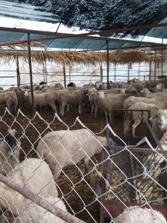 ilde-france-suffolk-login-macar-merinos-86-koyun-big-7