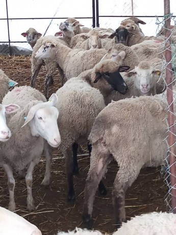 ilde-france-suffolk-login-macar-merinos-86-koyun-big-6