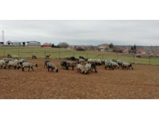 Süper Romonov Koyunları