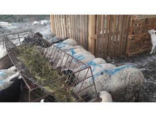 Muğla Köyceğizde Satılık Kuzu