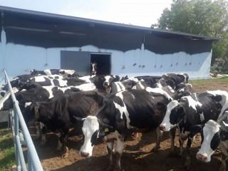 37 adet holstein süt ineği